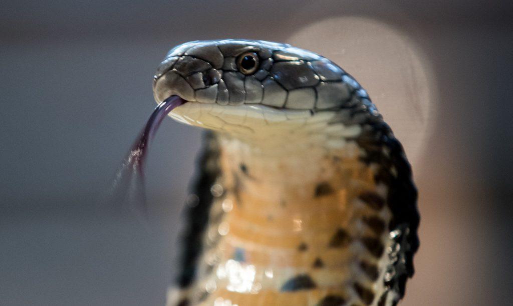 Tribe of Dan - Serpent